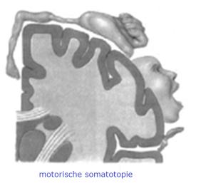 motorische somatotopie
