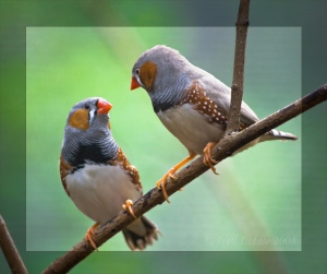 'Zebra Finches' by NeilsPhotography