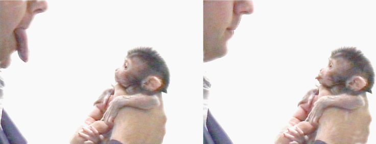 Bron: Evolution of Neonatal Imitation. Gross L, PLoS Biology Vol. 4/9/2006, e311 doi:10.1371/journal.pbio.0040311